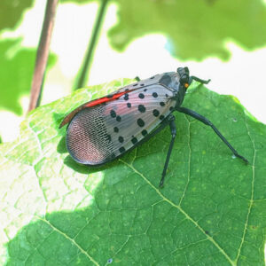 Spotted Latternfly